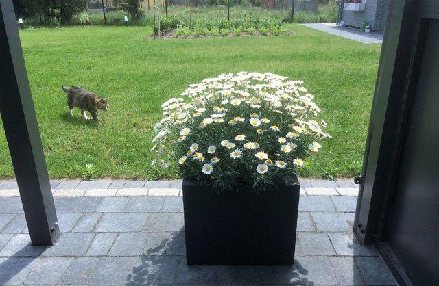 margeriten pflanzen und pflegen so wird s gemacht. Black Bedroom Furniture Sets. Home Design Ideas