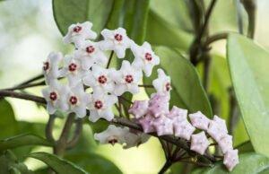 Pflege der Porzellanblume