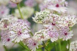 Elegante Blütenstaude: die Sterndolde