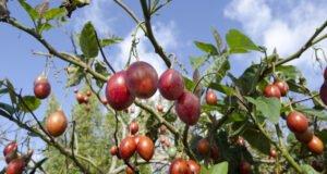 Tamarillos: Anbau, Pflege und Ernte