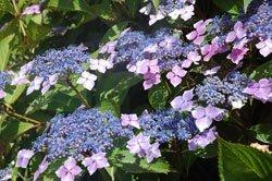 Tellerhortensien sind pflegeleichte Blumen