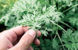 Wermut Pflanze