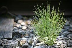 Ackerschachtelhalm wächst in unseren Breitengraden praktisch überall