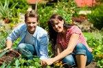 Gartenmelde ernten