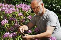 rhododendron pflanzen und pflegen so wird 39 s gemacht. Black Bedroom Furniture Sets. Home Design Ideas