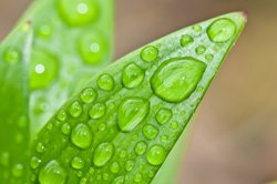 Die Blätter von Zimmerpflanzen müssen regelmäßig gereinigt werden