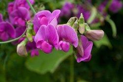 Wicken ähneln den Orchideen sehr