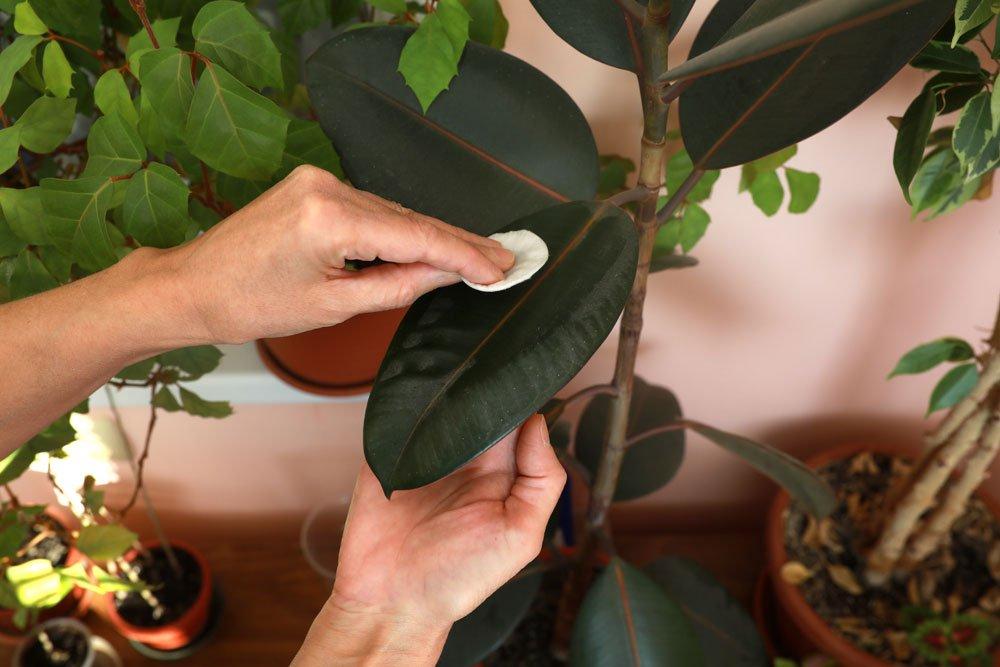 Zimmerpflanzen Blätter glänzen