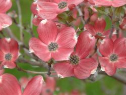 Amerikanischer Blumen-Hartriegel Cherokee