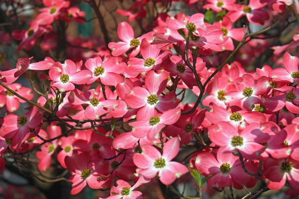 Amerikanischer Blumenhartriegel