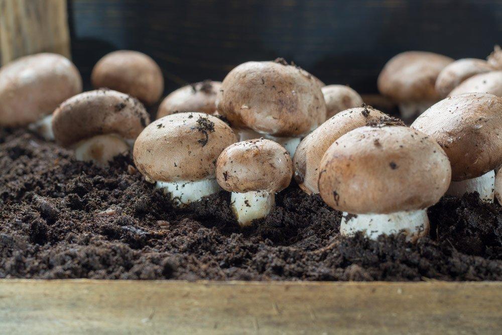 Champignons anbauen