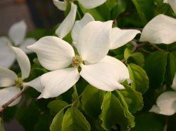 Chinesischer Blumenhartriegel Cornus Kousa Chinensis