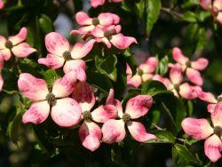 Japanischer Blumen-Hartriegel Satomi