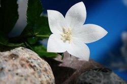 Die Ballonblume ist eine Pflanze für besonders sonnige Beete
