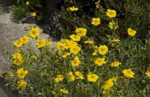 Sonnenröschen Sorten