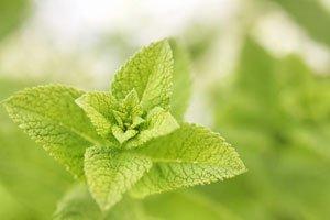 Heilkräuter pflanzen Minze