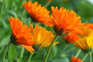 Heilkräuter pflanzen Ringelblume