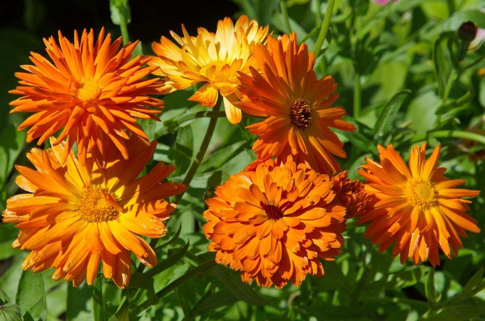 Heilpflanze Ringelblume