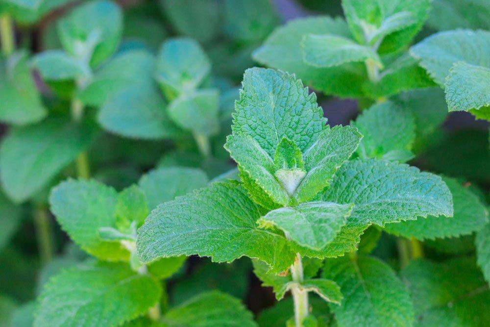 Heilpflanze Minze