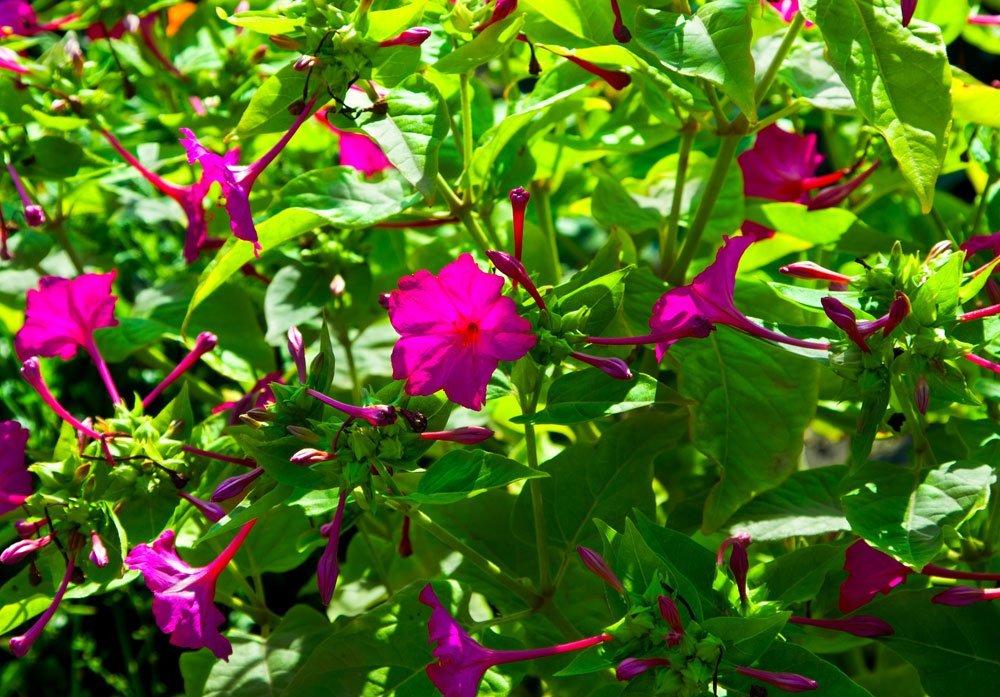 Wunderbare Wunderblume