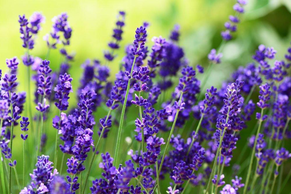 Blütenfarbe Violett