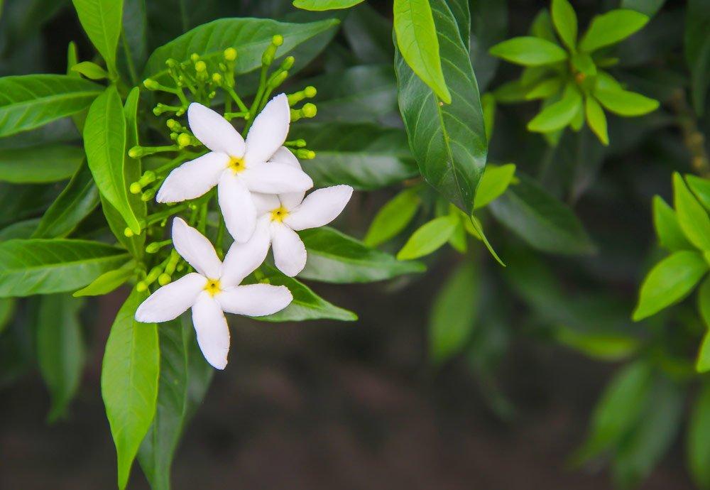 Blütenfarbe Weiß