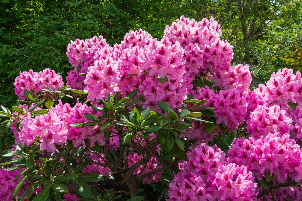 Rhododendron pflanzen pflegen