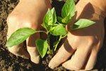Paprika-Düngung zur Pflanzzeit