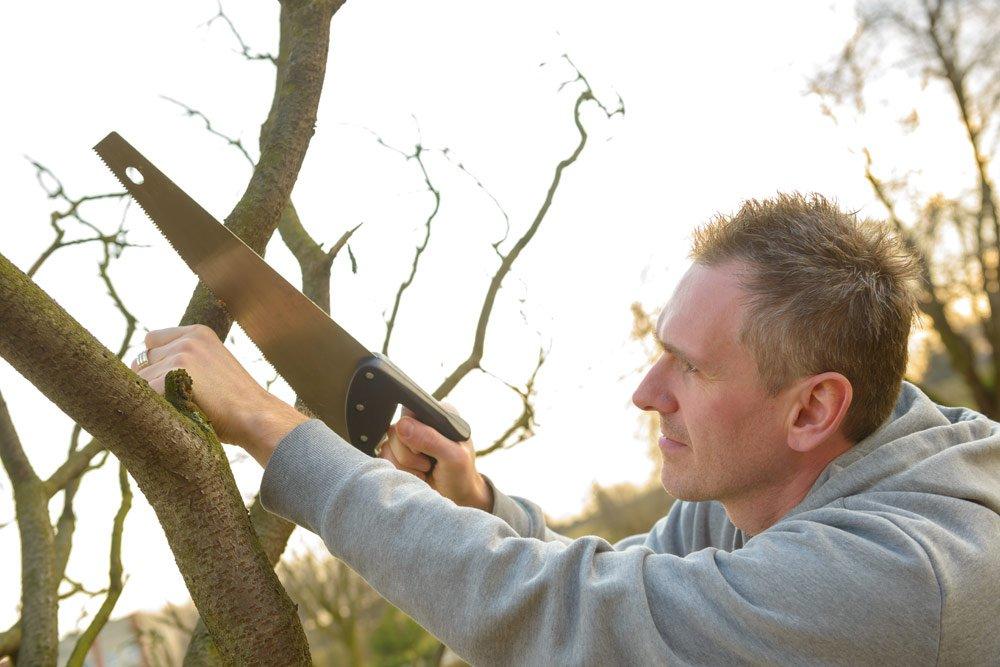 Quittenbaum ausdünnen