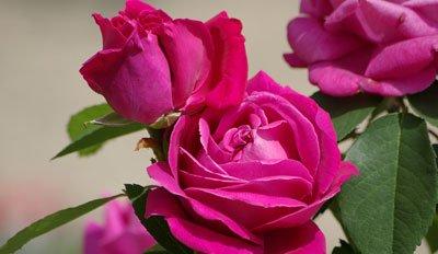 Rosen veredeln Anleitung