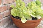 gem se auf dem balkon pflanzen 9 gem sesorten f r anf nger vorgestellt. Black Bedroom Furniture Sets. Home Design Ideas