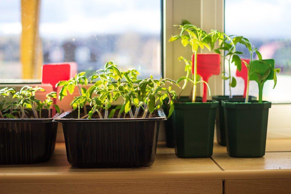 Gemüse auf der Fenterbank vorziehen