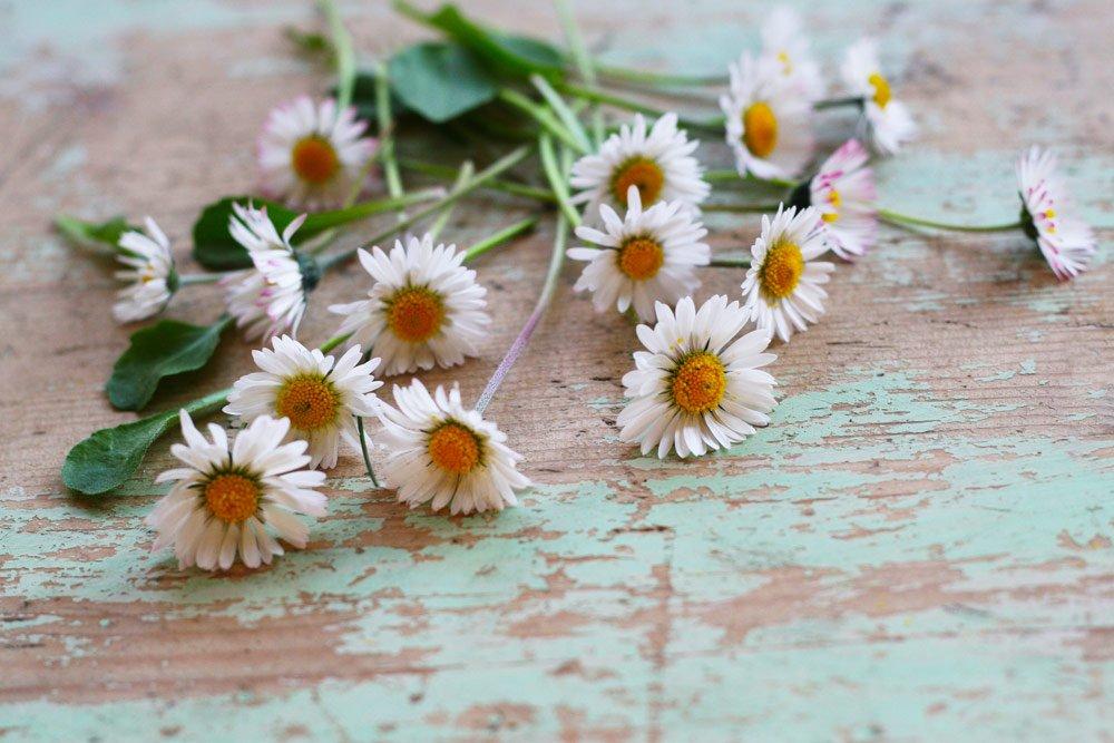 Wildkräuter: Gänseblümchen