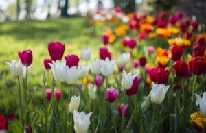 Blühzeit von Tulpen