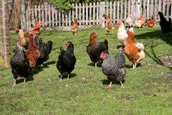 Hühner brauchen jeden Tag Bewegung