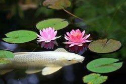 Koiteich anlegen 4 wichtige tipps for Besondere teichfische