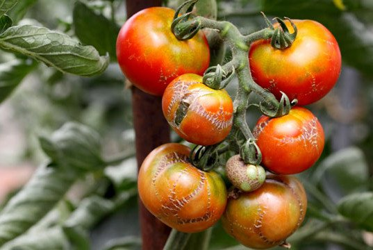 Tomaten Krankheiten erkennen bekämpfen