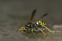 Erdwespen nicht mit Bienen verwechseln!