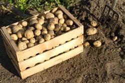 Kartoffeln ernten kartoffelbox
