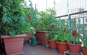Tomaten Balkon ziehen Tipps