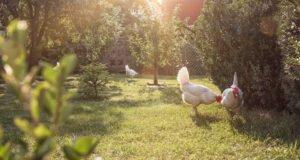 Freilauf für Hühner anlegen