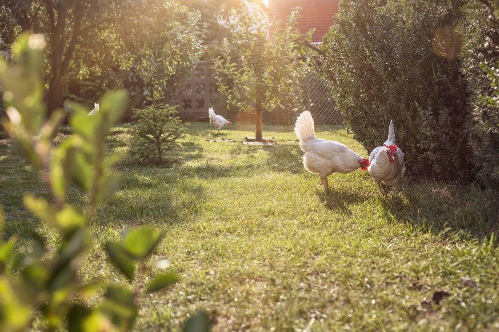 Freilauf für Hühner anlegen – 5 wichtige Tipps