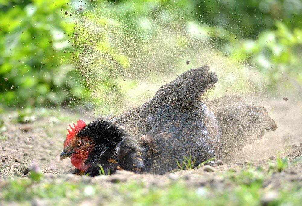 Freilauf für Hühner mit Sand zum Scharren und Baden