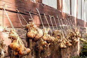 Zwiebeln lagern – Einfach & Unkompliziert