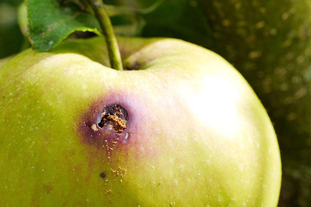 Apfelbaum Apfelwickler