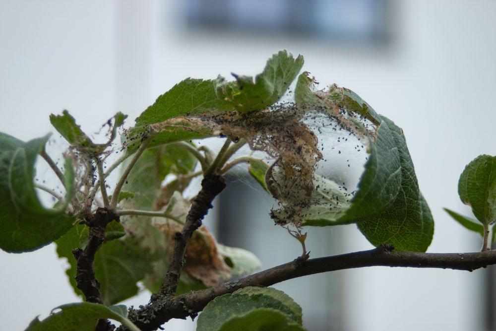 Apfelbaum Würmer