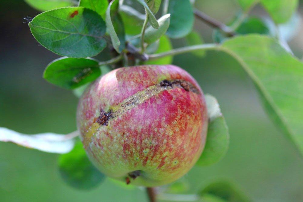 Apfelsägewespe