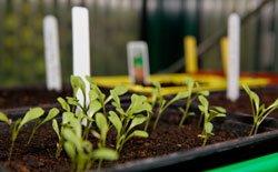 Junger Feldsalat