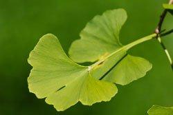 Blätter des Ginkgobaumes
