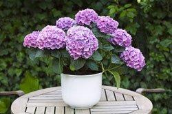Lila Hortensie als Kübelpflanze